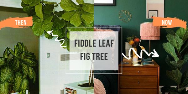 fiddle leaf fig tree plant indoor houseplants blog interior design trends how to care for a fiddle leaf fig