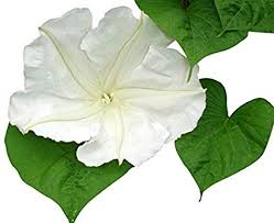 Moonflower Perfume Spray