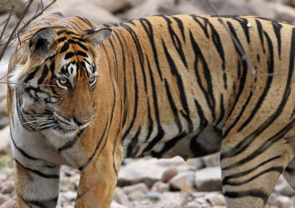 Indian tiger population increase