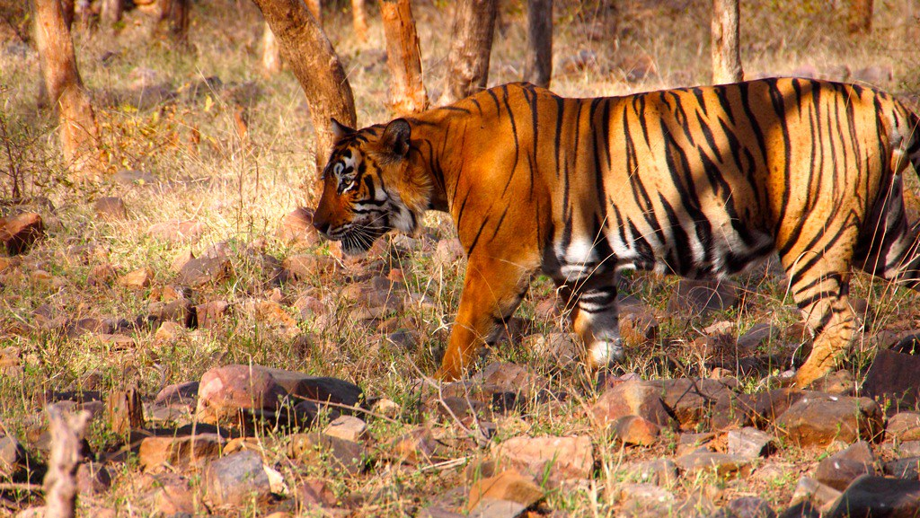 Tiger in Ranthambore National Park, India