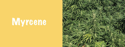Myrcene is the most common terpenes found in cannabis
