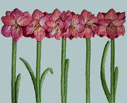 Amaryllis By The Tapis Tree