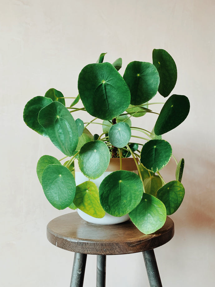How to propogate: Pilea peperomioides