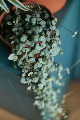Ceropegia Woodii - Chain of Hearts (hanging pot) LARGE