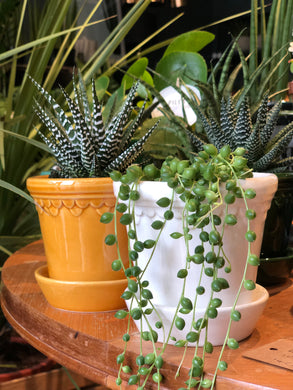 Mini String of Pearls - Senecio Rowleyanus