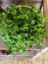 String of Nickels - Dischidia Nummularia