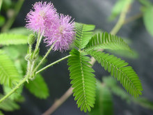 TickleMe Plant Book with 3 Packets of TickleMe Plant Seeds! - Become an expert on growing TickleMe Plants (Mimosa pudica) at home.