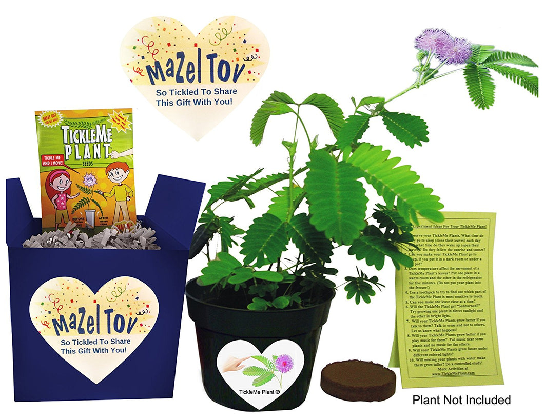 Mazel Tov! Bat or Bar Mitzvah Gift - TickleMe Plant Gift Set! - TickleMe Plant Company, Inc