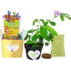 TickleMe Plant Birthday Gift Box set.  Grow the only houseplant that closes its leaves when Tickled!