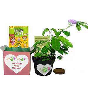 "Mother's Day/Birthday TickleMe Plant Gift Box Set - ""I'm Tickled You're My Mom!"""