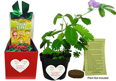 TickleMe Plant Christmas Plant Gift Box Set - Grow the Plant That Closes Its Leaves When You Tickle It! It Even Flowers! This Christmas Gift will make everyone smile when they Tickle the leaves!