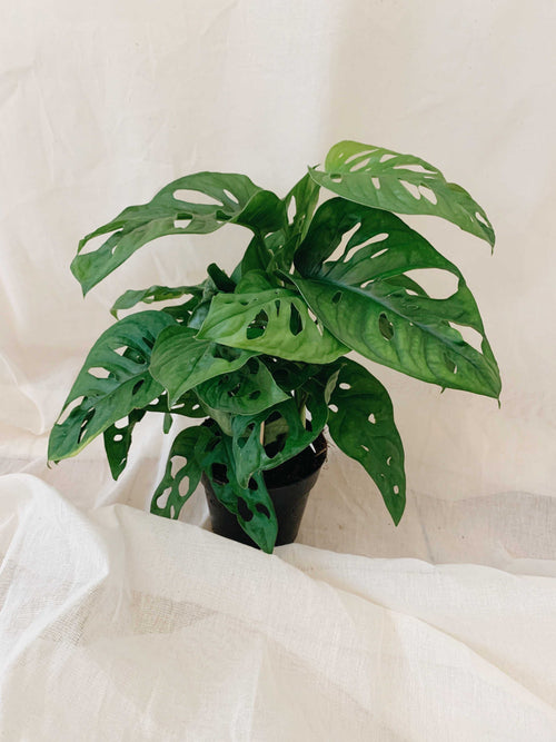 Monstera adansonii 'Monkey Mask' - nur zum Store Pick-Up
