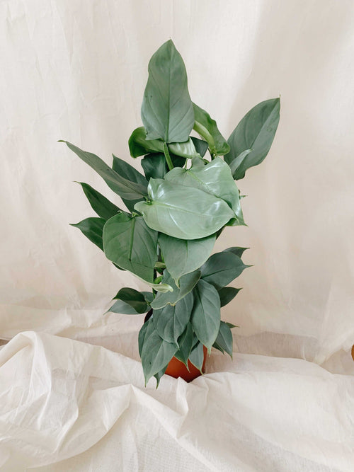 Philodendron hastatum - nur zum Store Pick-Up