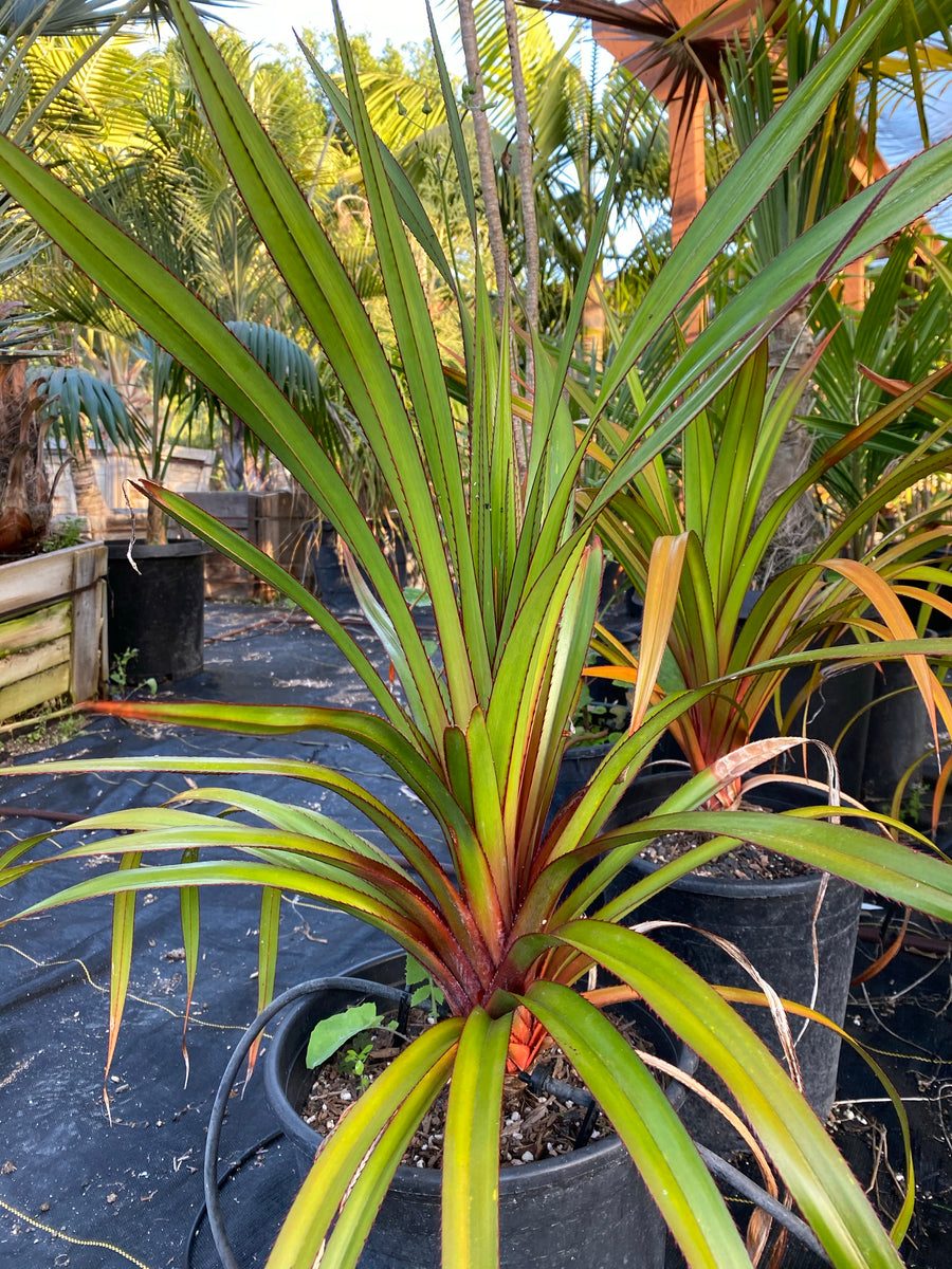"Pandanus Utilis ""Red Margin"""