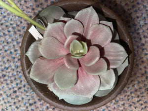 Succulent potted Plant