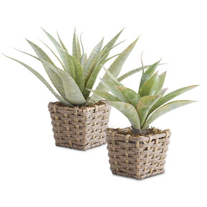 Agave Plant in Basket - Medium
