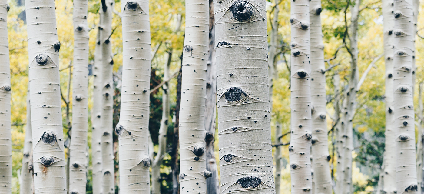 aspen trees why we use wood