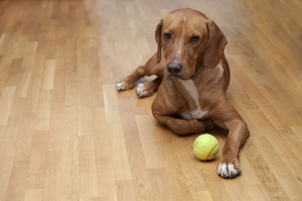 Dog with ball on waterproof vinyl plank floor