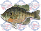 Bluegill full color vinyl fish decal sticker