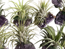 Load image into Gallery viewer, Amethyst Air Plant