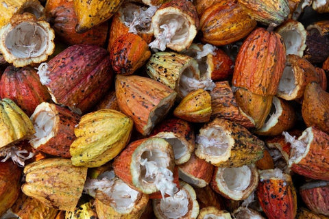 Harvested cacao fruits.