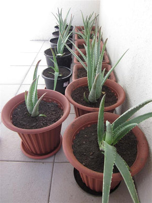 Aloe vera - its features, healing properties and how to pot them