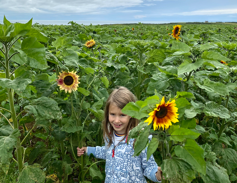 Sunflowers in Rhossili Gower