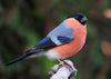 How to attract bullfinches to your garden
