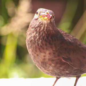 Why Garden Birds need your support and how to help