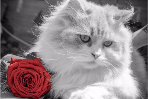 CAT RED ROSE BLACK WHITE COLOUR POP FLOWER ANIMAL CANVAS WALL ART HANGING IMAGE