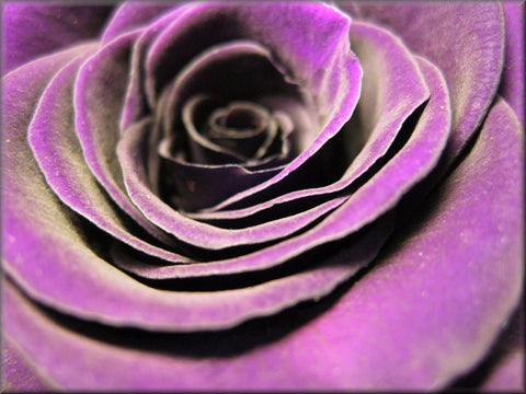 PURPLE ROSE CLOSE-UP CANVAS WALL HANGING IMAGE ART FLOWERS ART IMAGE PHOTO