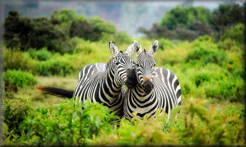 ZEBRA LOVE COUPLE CANVAS WALL HANGING IMAGE ART ANIMALS NATURE ART IMAGE PHOTO