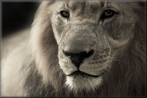 LION BLACK AND WHITE ANIMAL CANVAS WALL HANGING IMAGE PHOTO NATURE ART
