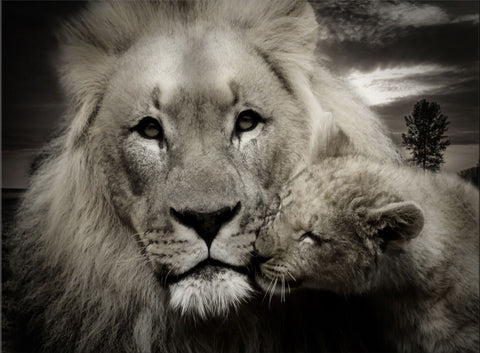 LION FATHER AND CUB BLACK & WHITE ANIMALS LOVE CANVAS WALL HANGING IMAGE ART