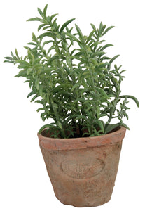 Thyme in Terracotta Pot plant