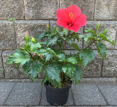 Hibiscus is a pet friendly plant that is a great option for indoor use for people with pets