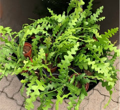 Fishbone Cactus is a pet friendly plant that is a great option for indoor use for people with pets