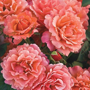 Easy does it pink orange Weeks floribunda rose