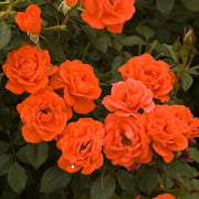 All A Twitter Orange Miniature Weeks Rose