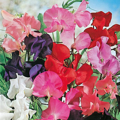 Sweet Pea Tall Mixed - Mr. Fothergill's Seeds