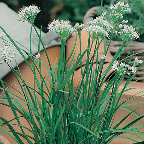 Chives Garlic - Mr. Fothergill's Seeds