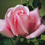 Pink Hybrid Tea Bewitched - Weeks Rose