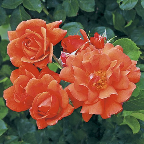 Above All Salmon Orange Climbing Weeks Rose
