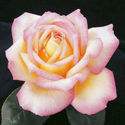 Peace Pink and Yellow Hybrid Tea Weeks Rose