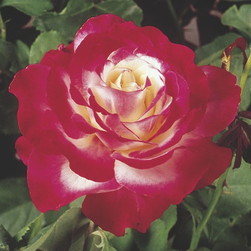 Double Delight - Weeks Rose