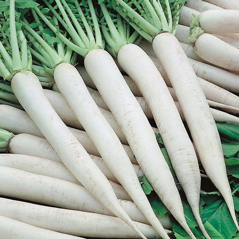 Radish White Icicle - MF Seeds