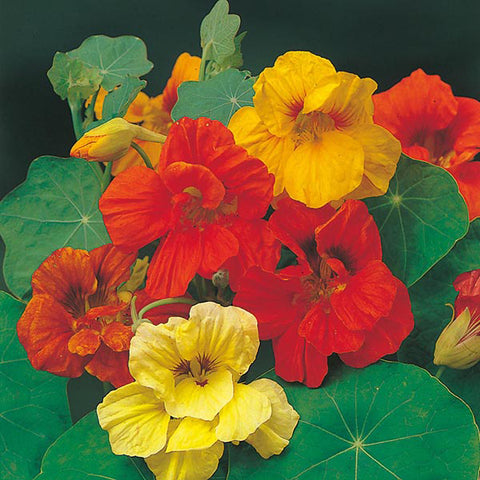 Nasturtium Trailing Mixed - Mr. Fothergill's Seeds