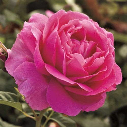 Grande Dame - Weeks Rose