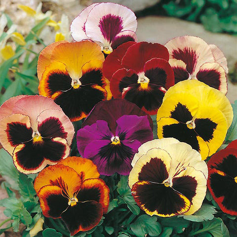 Pansy Swiss Giants Mixed - Mr. Fothergill's Seeds