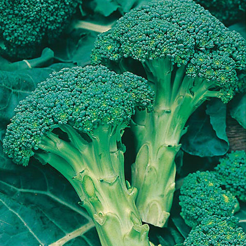 Broccoli Green Sprouting - Mr. Fothergill`s Seeds